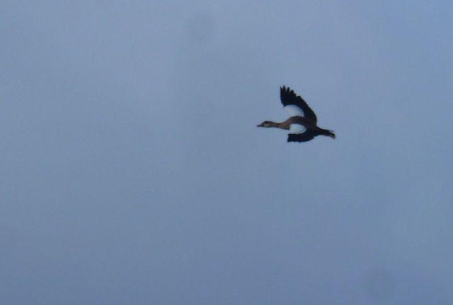 egyptian goose 4