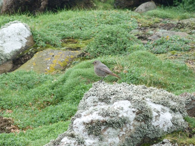 One of the black redstarts on the island, this is a young male.