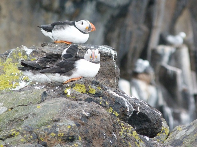 You can tell it is windy by the puffins posture, as streamline as possible, head into the wind at the top of the cliffs.