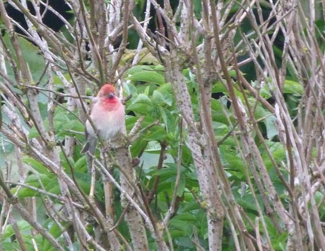 rosefinch 2
