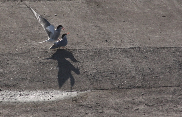 terns mating