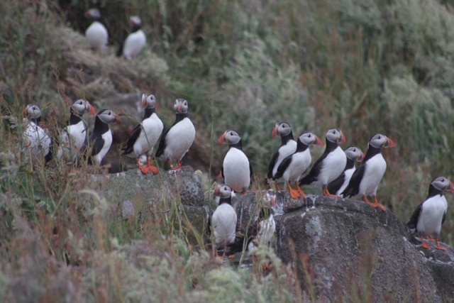 Experience the delights of over 46,000 pairs of Puffins