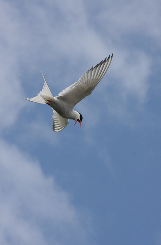 Discover more about the amazing migratory journey of our Arctic Terns