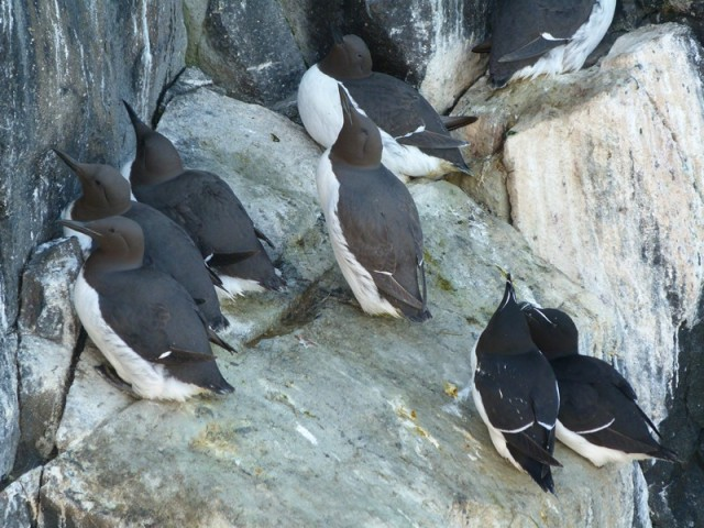 Guillemots to the left, razorbills to the right.