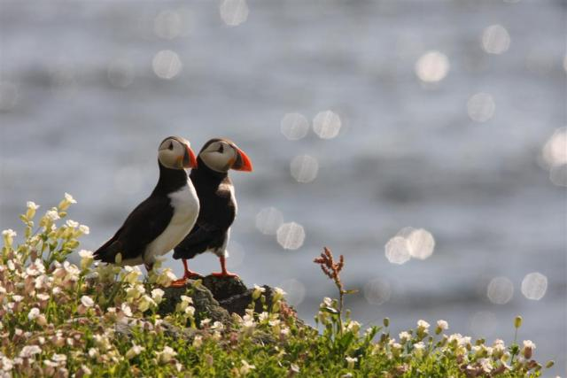 Puffins back on the May