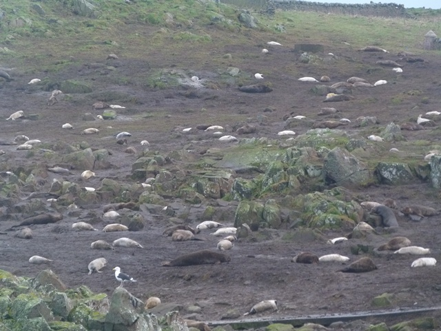 Seals galore on the Isle of May