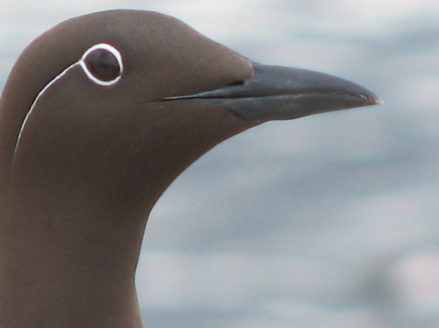 ...and look out for 'bridled' Guillemots