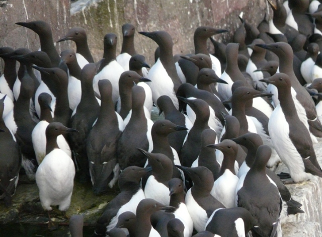 Guillemots packed tightly together on the ledges.