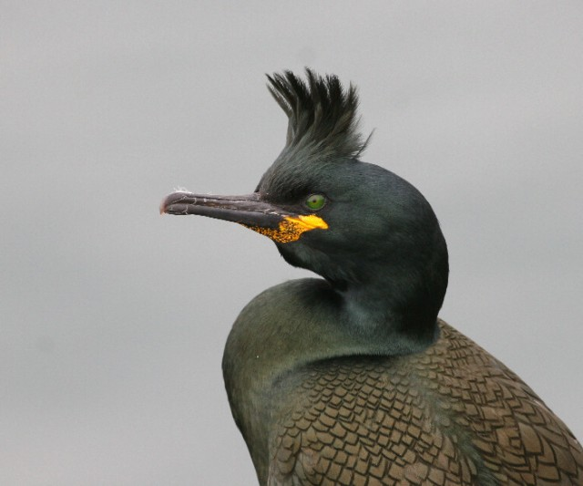 Adult Shag with 'super' crest