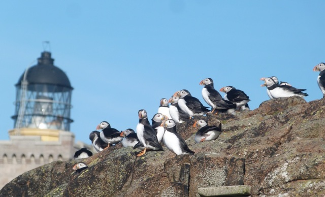 Always a joy to welcome back; Puffins arrive