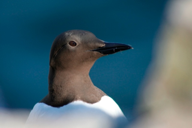 Guillemots returning in good numbers
