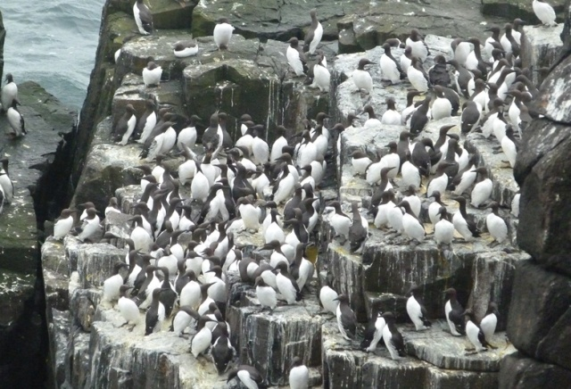 Guillemots back on the cliff ledges....