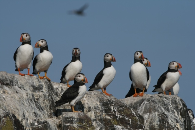 Fans favourite! Puffins returning in good numbers to the largest east coast colony