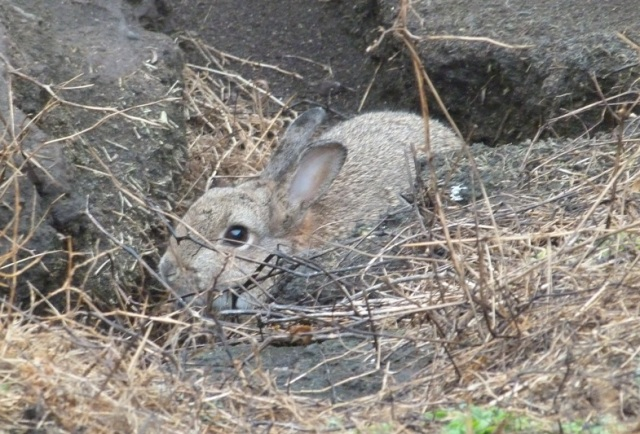 Its not all about Seabirds; the island has a good rabbit population