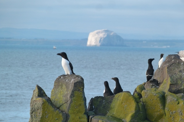 Razorbill on the cliffs with Bass Rock in the background