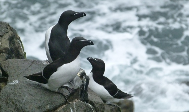 ...alongside Razorbills as well