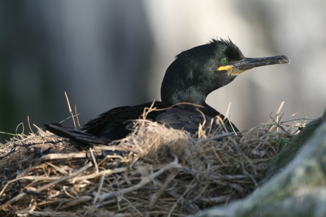 Early nesters; some Shags are now incubating eggs