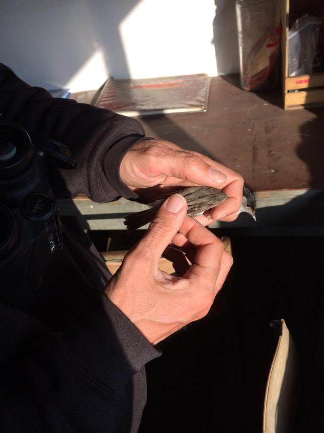 Bird ringing on the May; male Blackcap in the hand