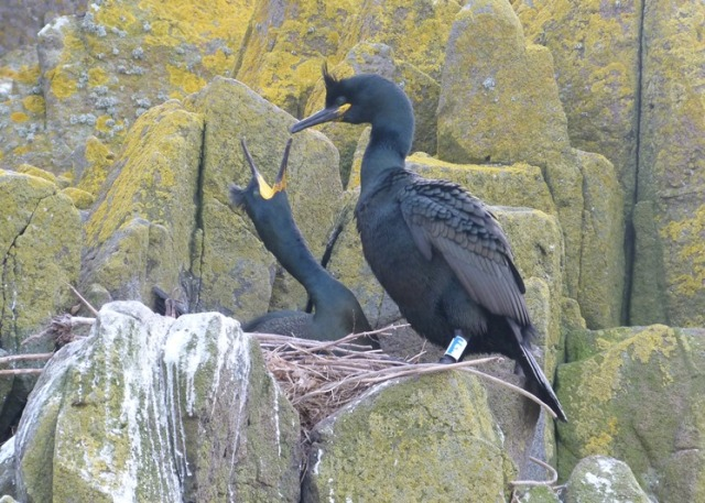 Displaying pair of Shags on the Isle of May