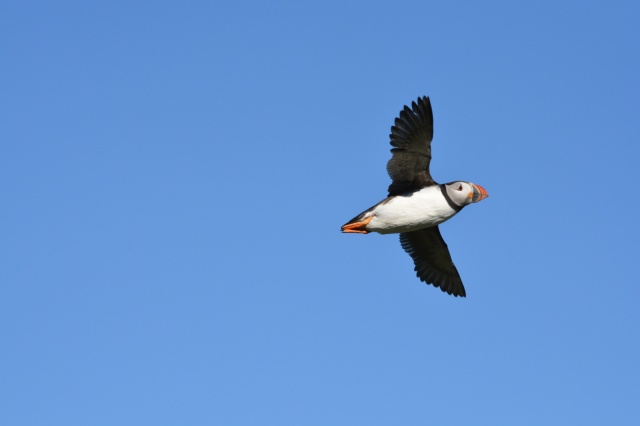 46,000 pairs of Puffins call the Isle of May home