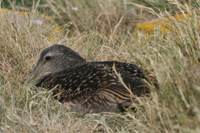 Nesting female Eider - the first discovered today!