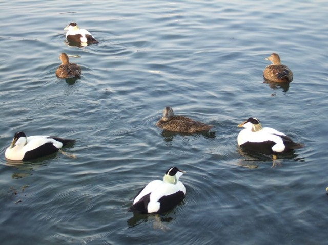 Male and Female Eiders displaying