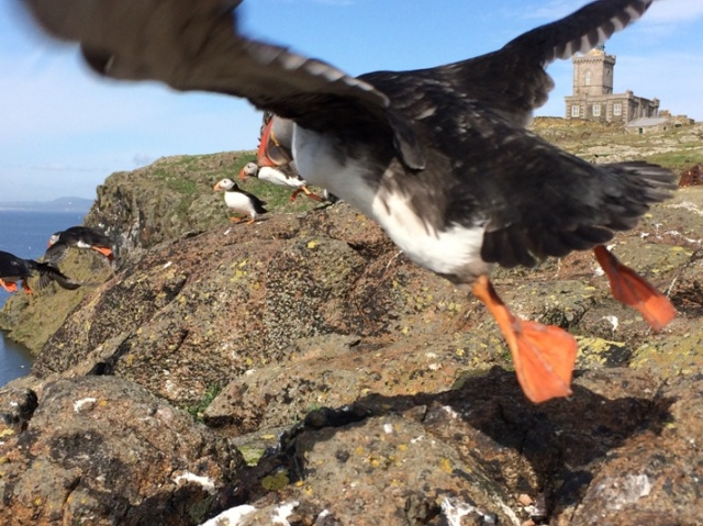 Photo-bomb! Puffin on the wing...not bad for a mobile telephone shot!
