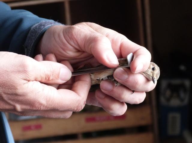 Bird ringing in progress; Garden warbler in the hand being processed