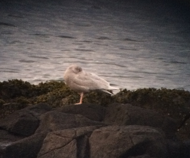 A grainy shot of the immature Glaucous Gull at roost (taken on a phone - sorry for the excuses!)