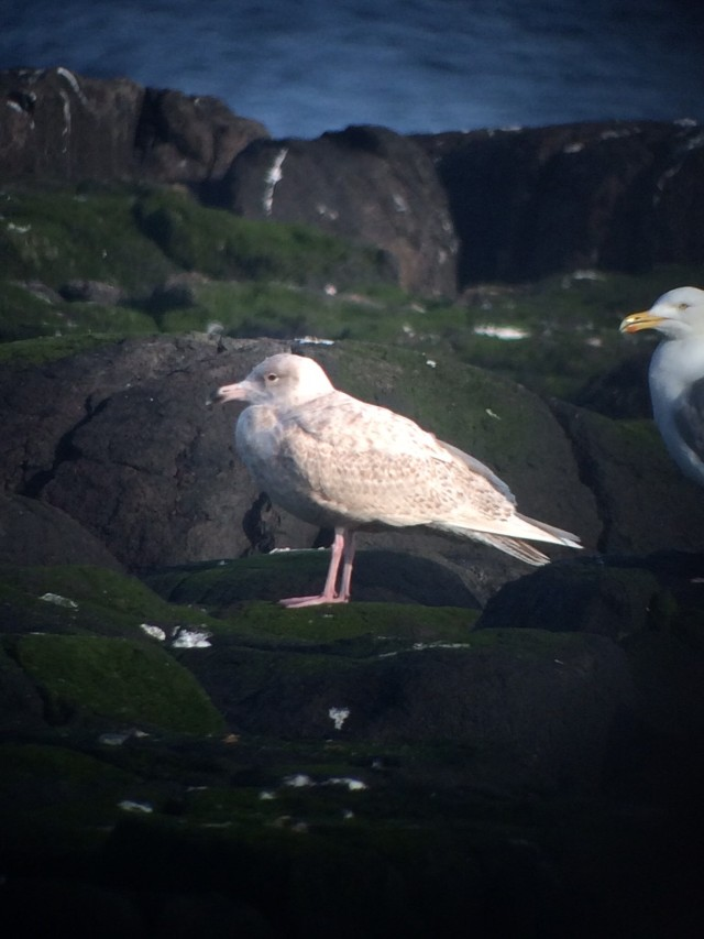 Scarce visitor to the island; an immature Glaucous Gull