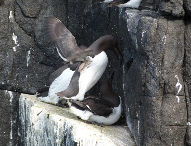 Copulating Guillemots recently and now on eggs!