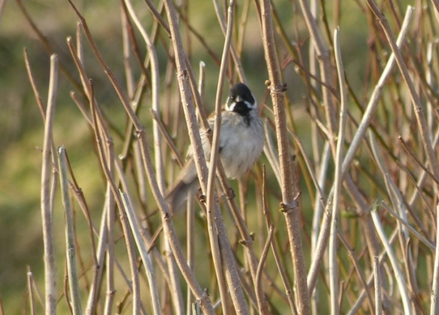 Good day for passage; one of two Reed Buntings present (Maggie Sheddan)