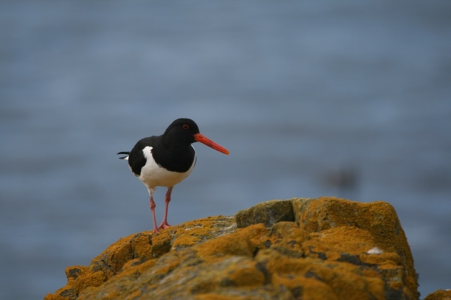 Oystercatchers are now on territory