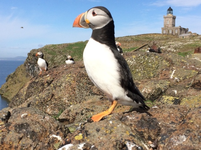 Isle of May Puffin (photo taken on a mobile telephone!)