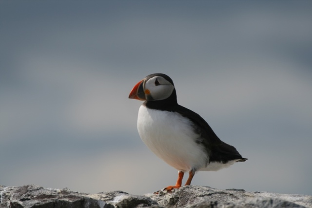 Good numbers of Puffins returned to the island today