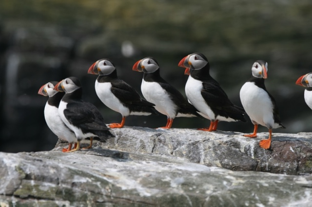Puffins galore on the Isle of May today