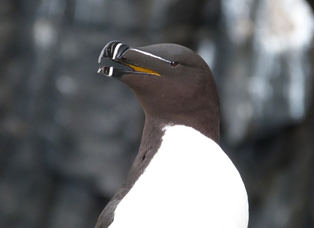 The first Razorbill eggs were discovered late on Saturday evening