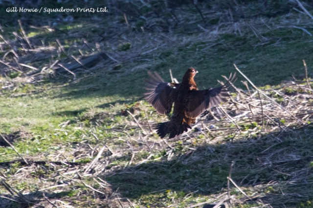 Touch down, Red Grouse on the Isle of May (photo: Gill Howie)