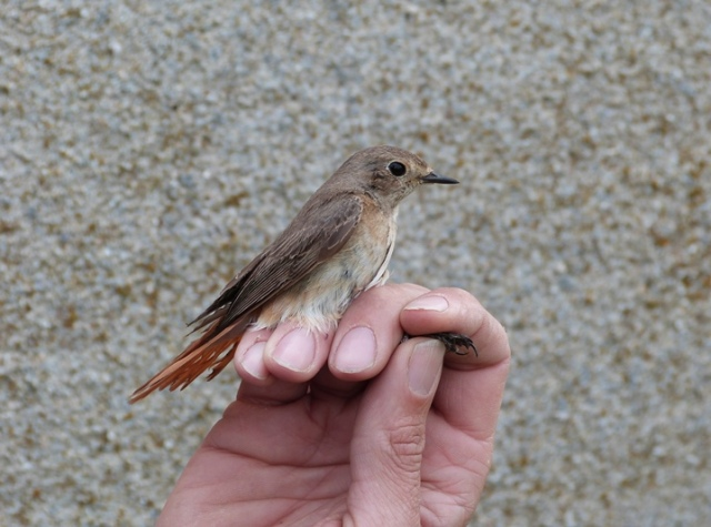 First Redstart of the year, caught and ringed today