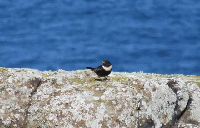 Male Ring Ouzel; one of three recorded recently (Mark Newell)