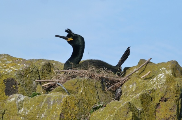 Shag on nest (have been on eggs for almost three weeks)