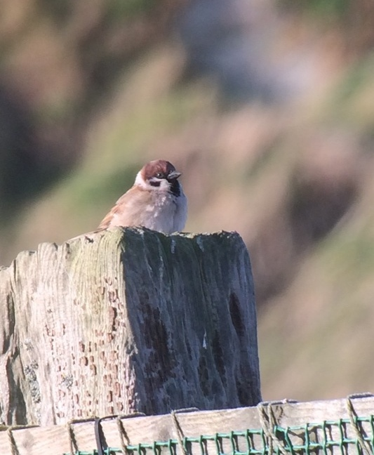 Almost as rare; a Tree Sparrow present on the island