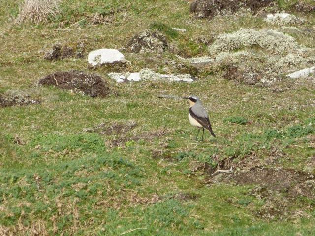Migrant birds on the move; male Wheatear (Maggie Sheddan)