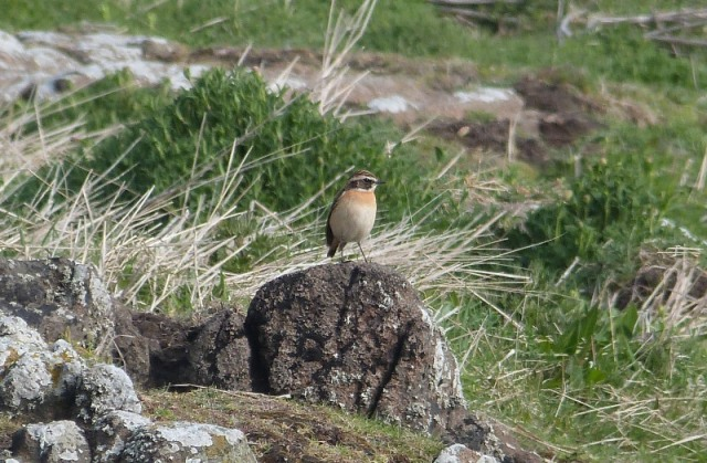 Plenty of migrants on the move including this Whinchat (which was first of the year)