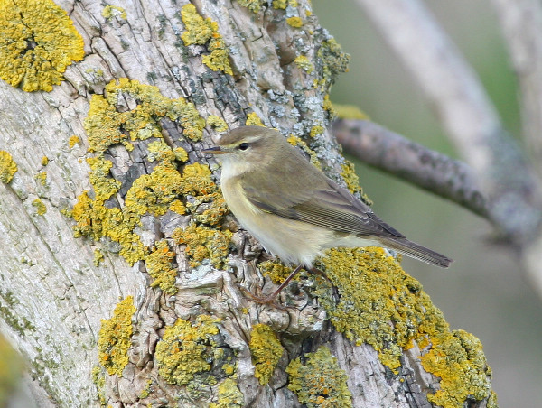 First Willow Warblers on the move through the island