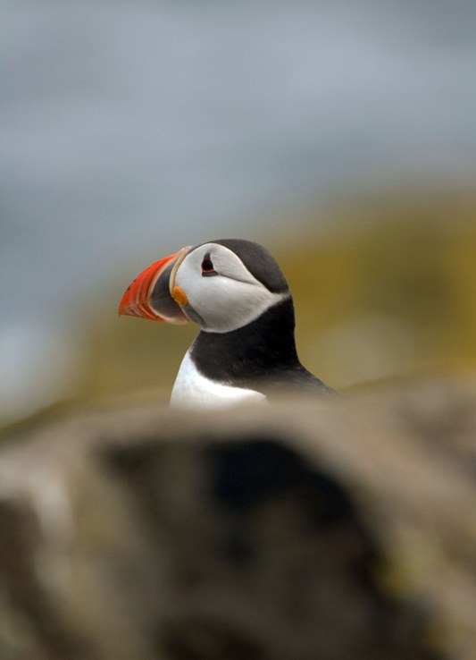 An Isle of May Puffin (Michael Christie)
