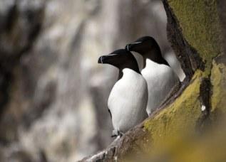 Pair of Razorbills on the cliffs (Michael Christie )