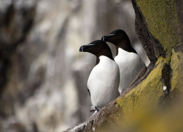Pair of Razorbills on the cliffs (Michael Christie )