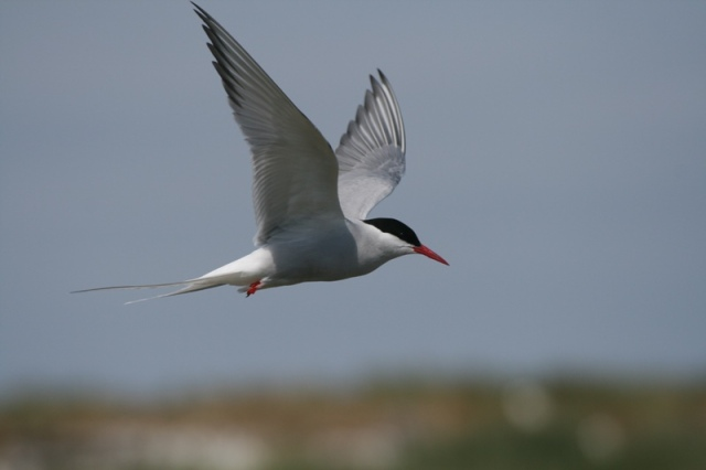 Up to 40 Arctic Terns now back and displaying over the island