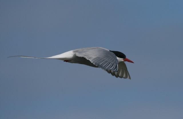 Also known as the 'Sea Swallow' the Arctic Tern is the longest distant bird migrant in the world!